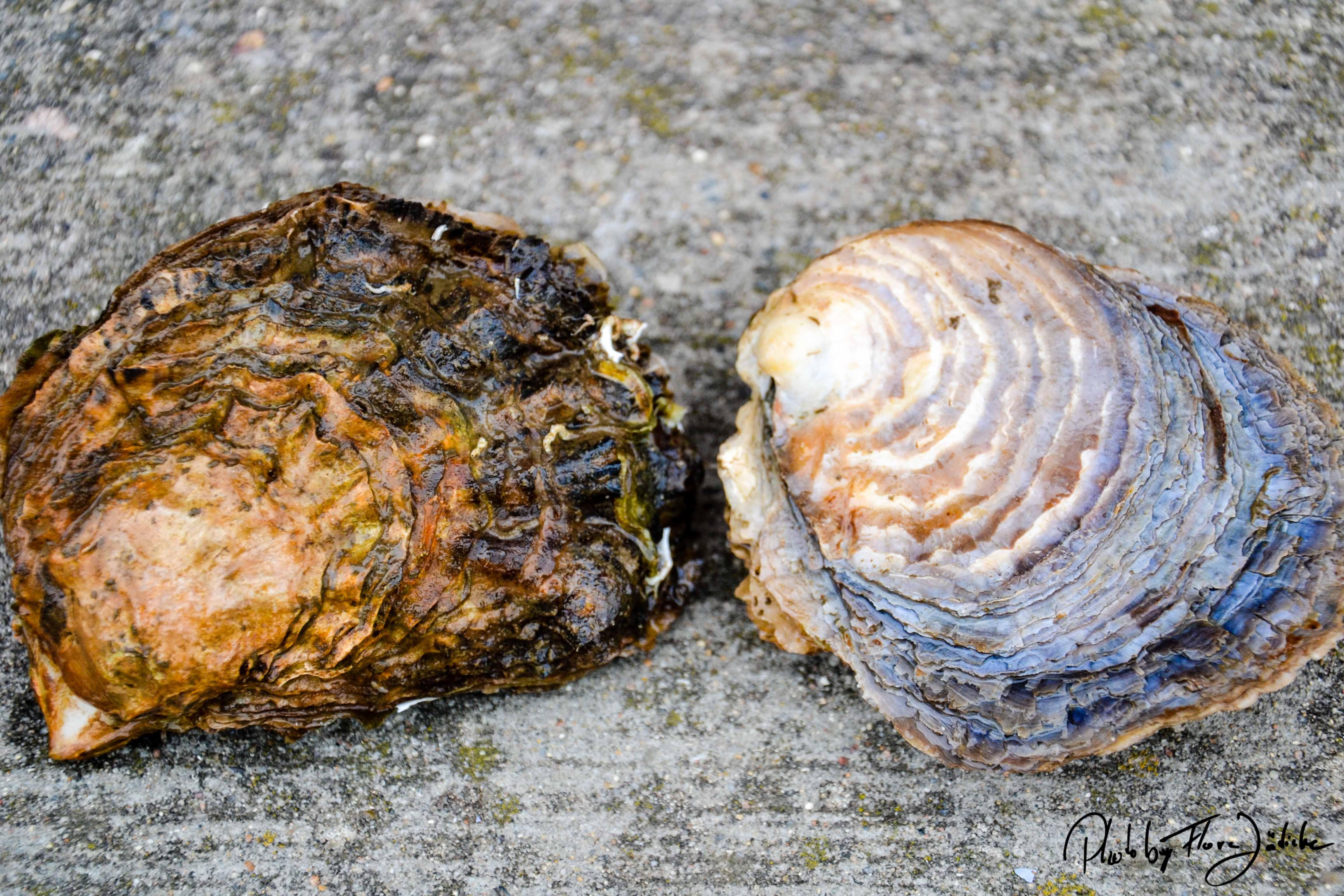 Die pazifische Auster und die europäische ursprünglich in der Nordsee heimische Auster (rechts im Bild)